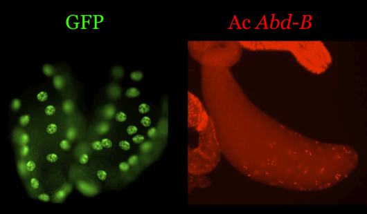 Abd-B expression in the accessory glands