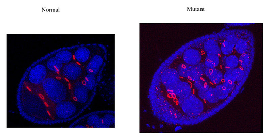 immuno_staining_ovaries.jpg_s600