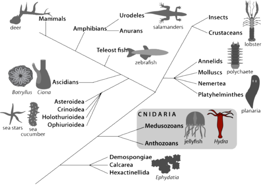 Schema_depicting_the_position_of_Hydra_in_the_metazoan_tree_no_bckgrnd.png_s500