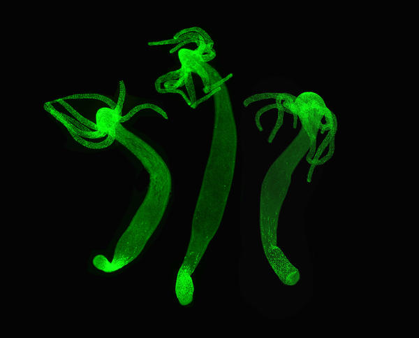 Hydra can modify its genetic program
