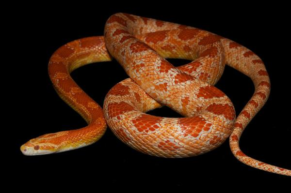 Discovery of the mutation responsible of amelanism in the corn snake