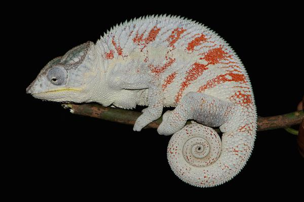 Four to eleven species of Panther Chameleons uncovered