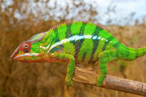 The chameleon reorganizes its nano-crystals to change colors