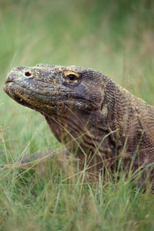 The Komodo dragon makes the cover of the journal «Molecular Ecology Resources»