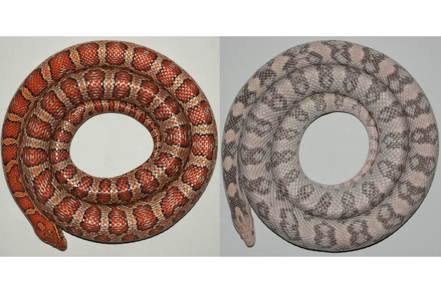 Snakes reveal the origin of skin colours